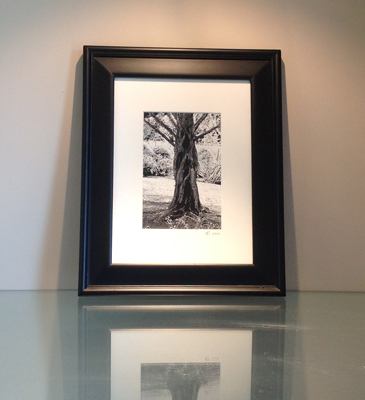 Dawn Redwood Framed